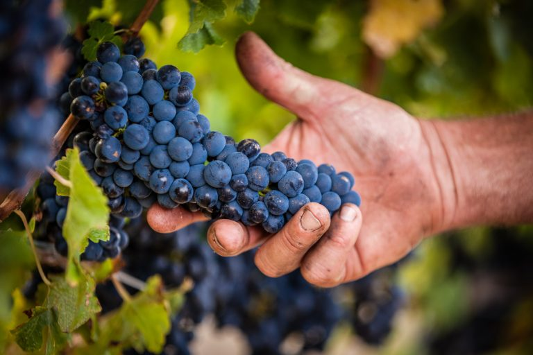 Vineyard -Graphe - Daniela Tommasi Photography