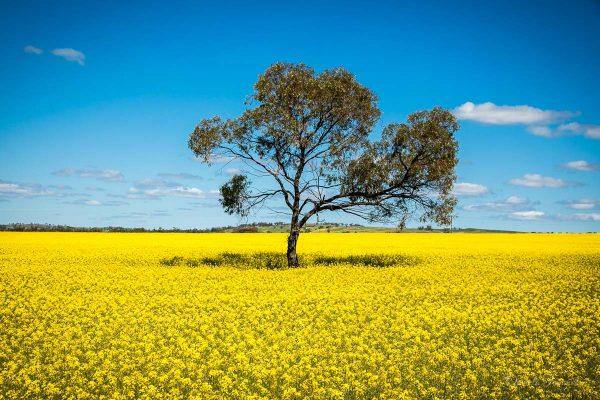 Wheatbelt-Canola Field-Daniela Tommasi Photography