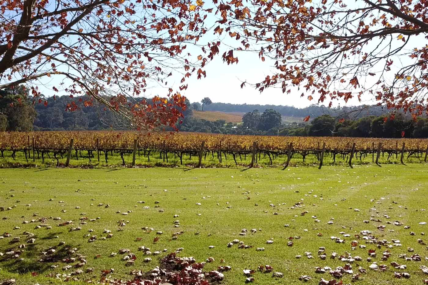 DTP-3_Vineyard-Autumn