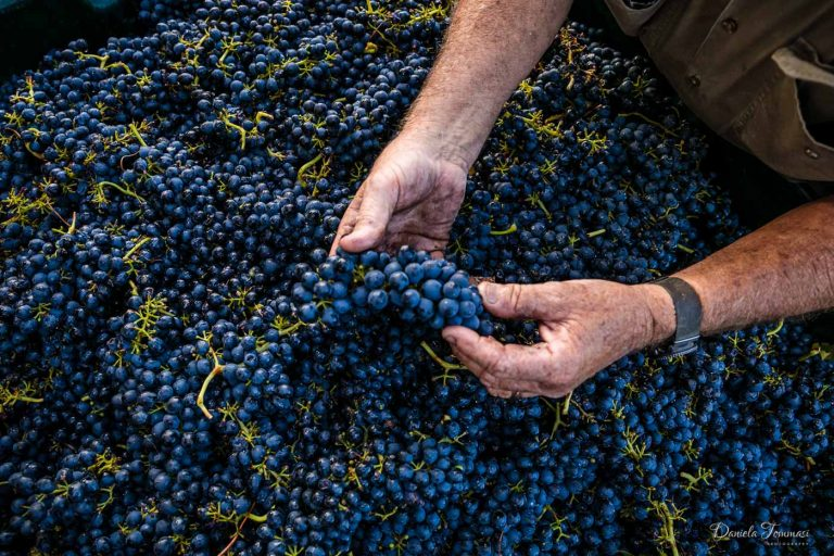 Picking - wineries-Daniela Tommasi Photo